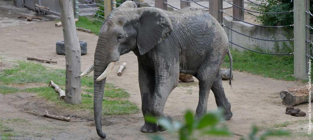 elefant_shaka