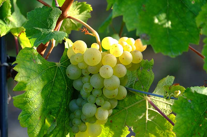 grapes-908989_pixabay-web