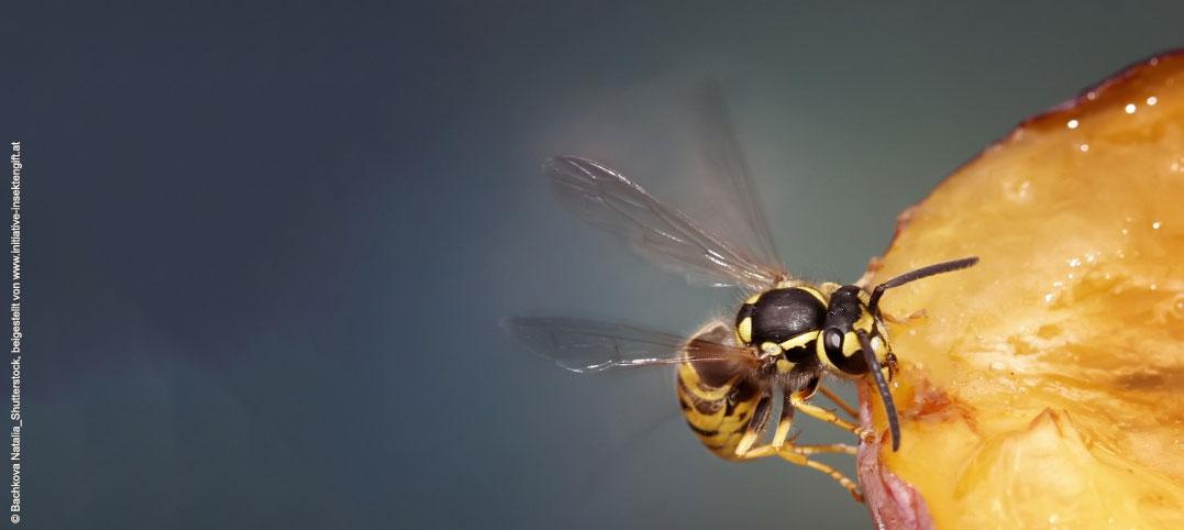 Achtung Fallobst: Gefahrenquelle für Wespengift-Allergiker