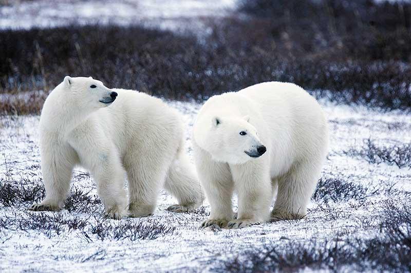 polar-bears_pixabay