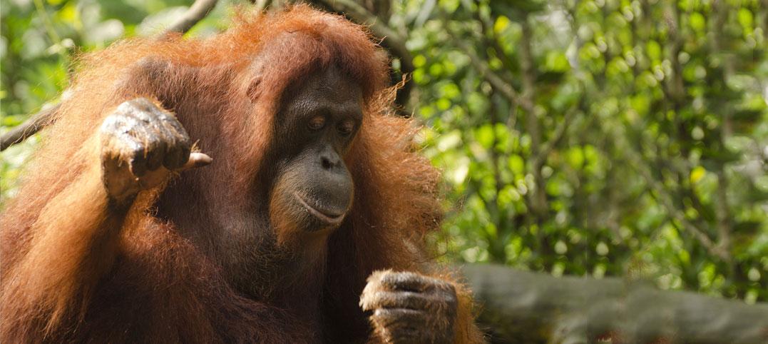 Petition: Unterstützen Sie die Urang-Utans auf Borneo!