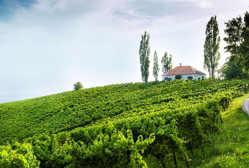 Weinberg in der Thermenregion der Steiermark
