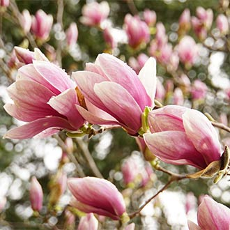 Magnolien am Baum