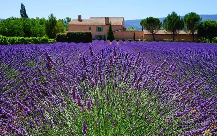 Blühender Lavendel in der Provence