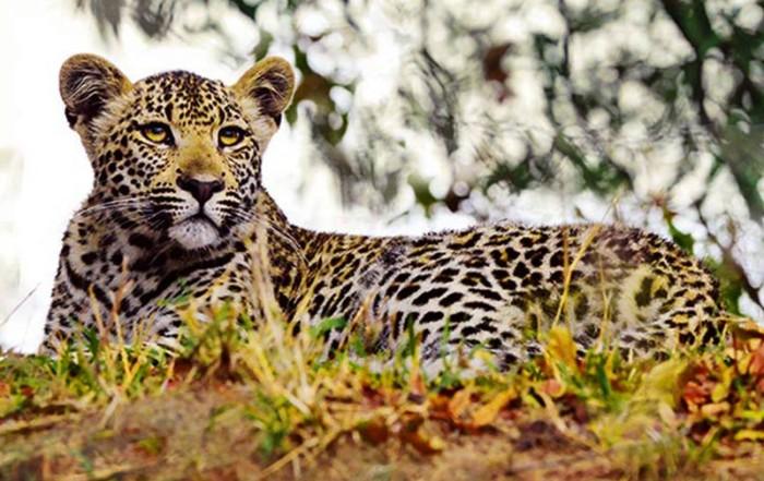 Junger Leopard auf einem Baum in Südafrika