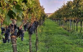 Weingut mit Weinreben in Norditalien